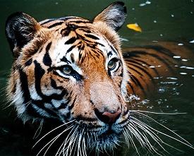 20160418031109-tigre.jpg