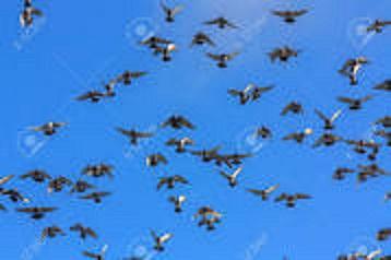 20170405161547-palomas-en-vuelo.jpg