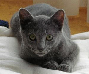 Gato raza Azul Cubana
