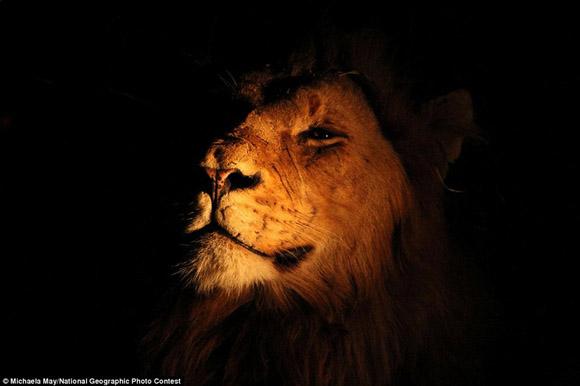 El Rey de la Selva, en primer plano. Foto: Michaela May.