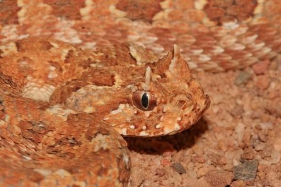 Bitis atropos. Esta serpiente extremadamente venenosa es muy poco numerosa. Al igual que muchas víboras africanas se distingue por dos bultos en la cabeza parecidos a cuernos. Los que vieron a esta víbora en vivo, dicen que tiene algo diabólico en su aparición.