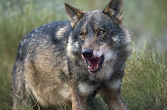 Lobo. Durante la persecución, el lobo puede alcanzar velocidades de 65 kilómetros por hora. Su mandíbula es tan fuerte que puede romper la cadera de un alce adulto con solo 6 u 8 mordiscos.