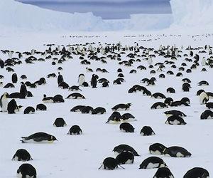 pinguinos1