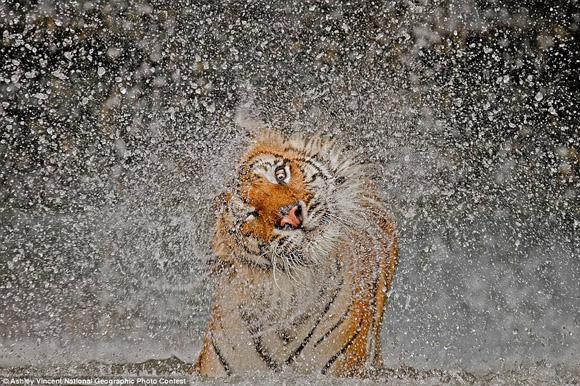 Una tigresa disfruta del baño en Tailandia. Foto: Ashley Vincent.