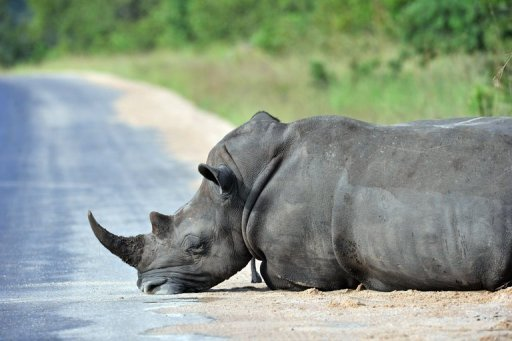 Los cazadores clandestinos, que desde 2006 mataron a más de 2.400 rinocerontes en Africa, ponen en peligro la existencia de esa especie